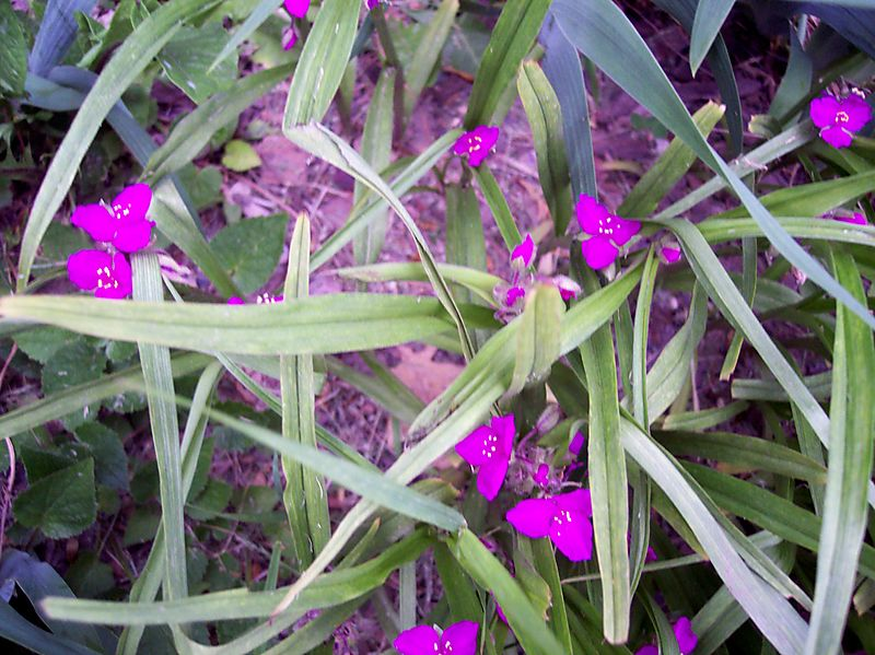 Pink Spiderwort At Webster Heghts