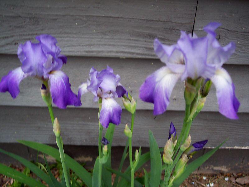 Blurry iris