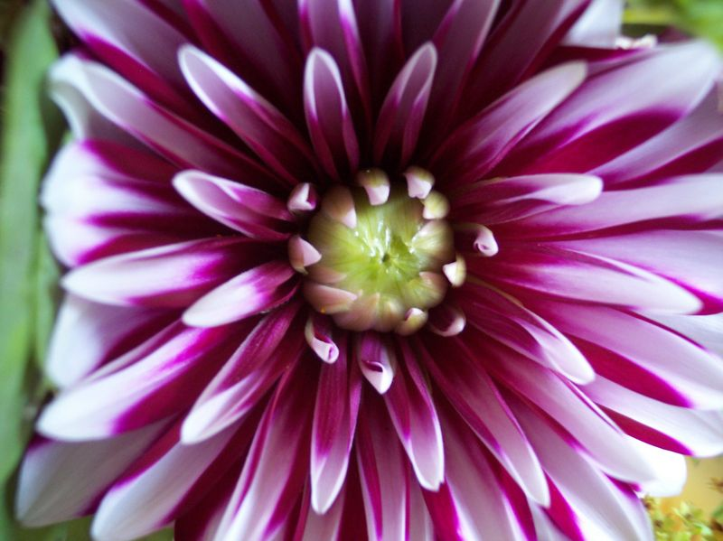 Petal Pusher Green Bay Wisconsin Dahlia