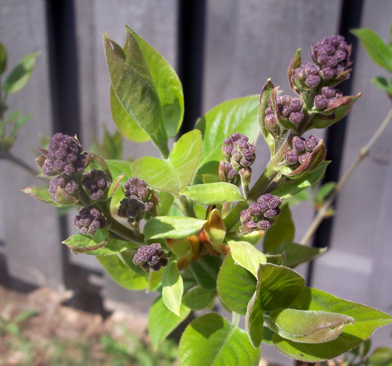 First_lilacs