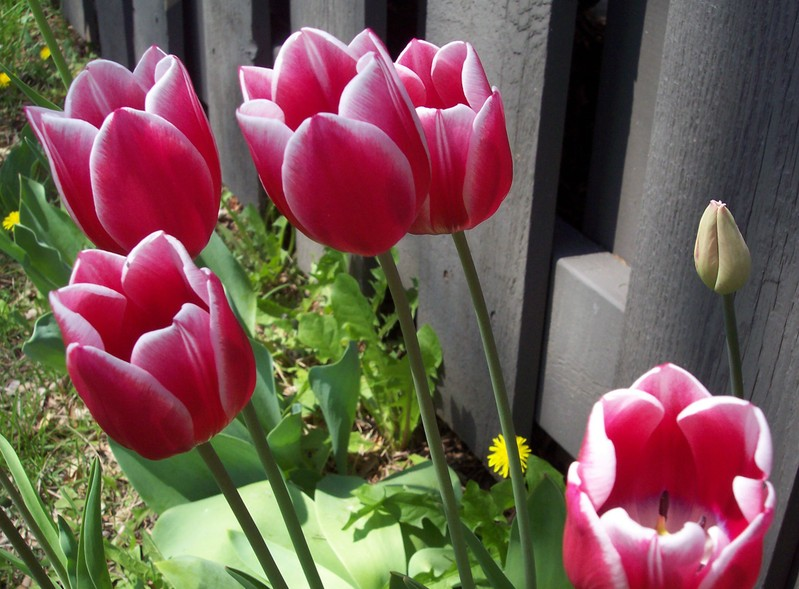 Hot_pink_tulips